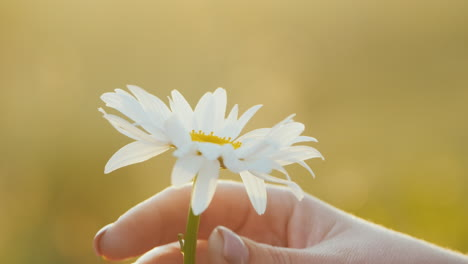 A-woman-s-hand-plucks-a-flower-of-chamomile