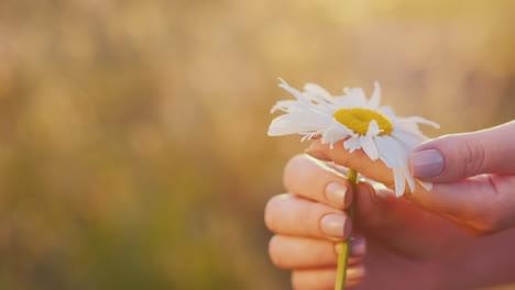 Women-s-hands-gently-stroke-flower-petals