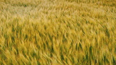 Strong-Gale-Force-Winds-Sway-The-Wheat-Field