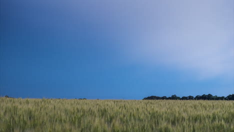 Lightning-Discharge-In-The-Sky-Above-The-Field-Of-Yellow-Wheat