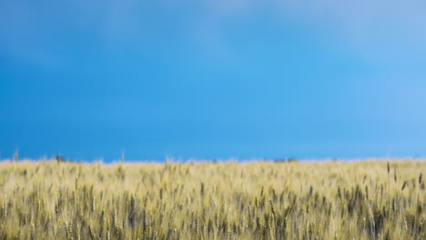 Lightning-Discharge-In-The-Sky-Above-The-Field-Of-Yellow-Wheat-1