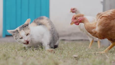 A-chicken-steals-food-from-a-cat