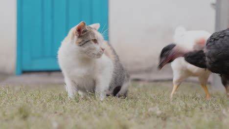 Chickens-try-to-take-away-the-cat-s-food-and-the-cat-hits-the-bird-with-its-paw