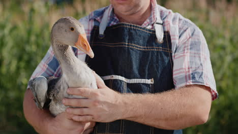 A-farmer-holds-a-large-goose