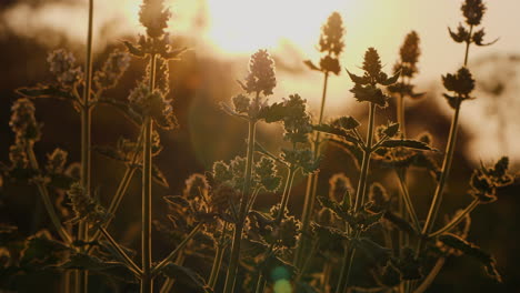 Melis-Bush-Grows-On-The-Field-At-Sunset