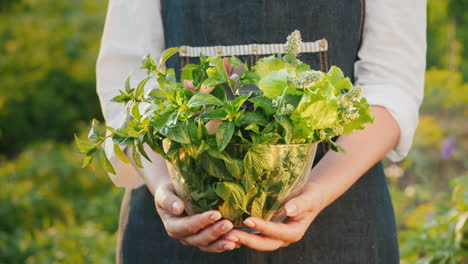Farmer-Holds-A-Bowl-With-Mint-Melissa-And-Barberry---Ingredients-For-Soft-Drinks-And-Tea-1