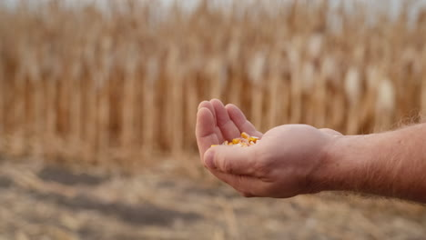 Farmer-pours-grain-on-stands-in-the-field