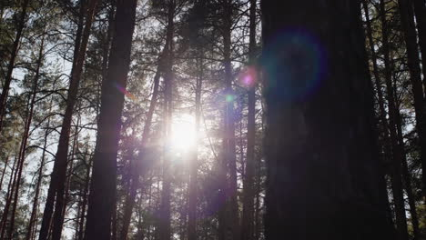 Walking-through-a-pine-forest-with-the-sun-shining-through-the-branches-of-trees