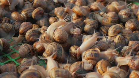 Many-snails-crawl-side-by-side-in-a-tray