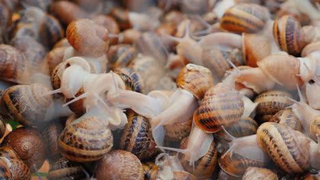 Live-snails-at-a-farm-2