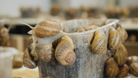 Container-with-snails-at-the-farm-where-they-are-grown-1