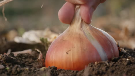 Farmer-picks-ripe-onions-from-the-ground-6
