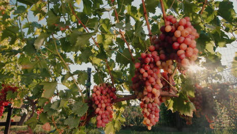 Vineyard-with-ripe-bunches-of-grapes-in-the-rays-of-the-setting-sun