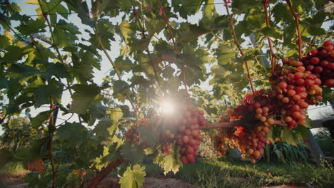Vineyard-with-ripe-bunches-of-grapes-in-the-rays-of-the-setting-sun-1