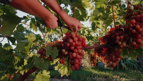 Farmer-cuts-a-large-bunch-of-grapes-from-the-vine