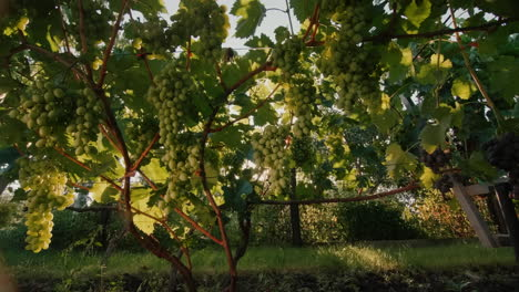 Vineyard-with-ripe-bunches-of-grapes-in-the-rays-of-the-setting-sun-2