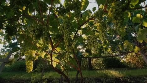 The-sun-shines-through-the-vineyard