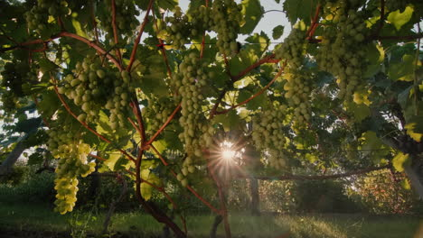 Vineyard-with-ripe-bunches-of-grapes-in-the-rays-of-the-setting-sun-3