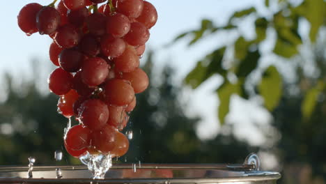 A-woman-pulls-out-a-large-ripe-bunch-of-grapes-from-a-bucket-of-water-1