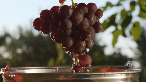 A-beautiful-juicy-bunch-of-dark-grapes-are-taken-out-of-a-bucket-of-water
