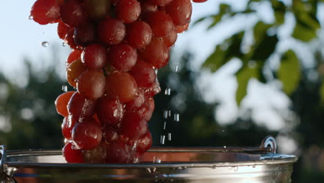 A-beautiful-juicy-bunch-of-dark-grapes-are-taken-out-of-a-bucket-of-water-1