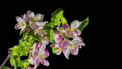 Flowers-bloom-on-the-apple-tree-branch