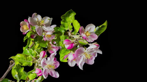 Flowers-bloom-on-the-apple-tree-branch---the-arrival-of-spring