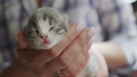 Female-hands-hold-a-small-newborn-kitten-gray