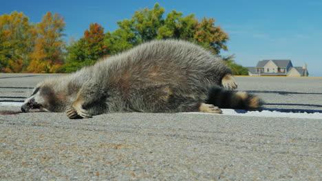 Raccoon-killed-by-a-car