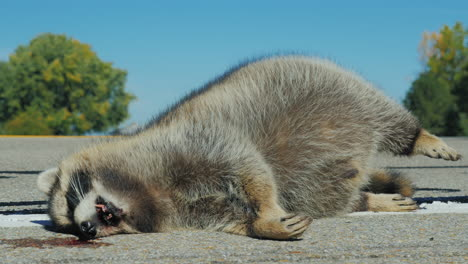 Raccoon-killed-by-a-car-1