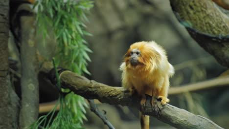Golden-Lion-Tamarin-Marmoset-Sitting-On-Branch