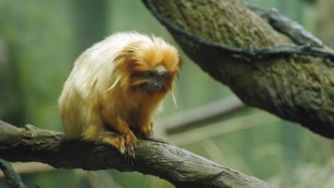 Golden-Lion-Tamarin-Marmoset-Sitting-On-Branch-2
