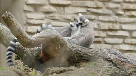 Two-Ring-Tailed-Lemurs-Looking-At-Each-Other