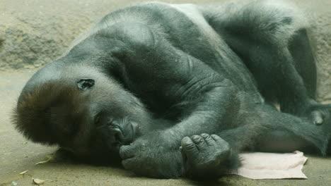 Big-Male-Gorilla-Lying-On-A-Towel