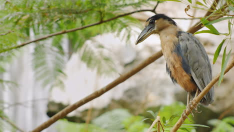 Boat-Billed-Heron-Sitting-In-The-Branches-Of-A-Tree-1