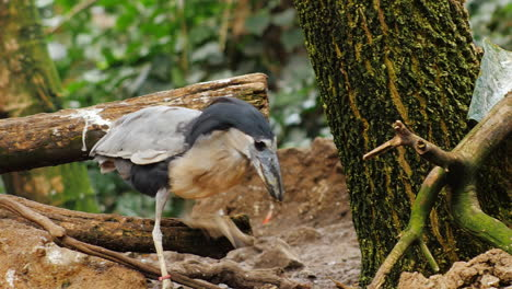 Boat-Billed-Heron-Sitting-In-The-Branches-Of-A-Tree-2