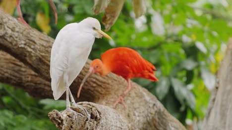 Scarlet-Ibis---A-Beautiful-Exotic-Red-Bird-3