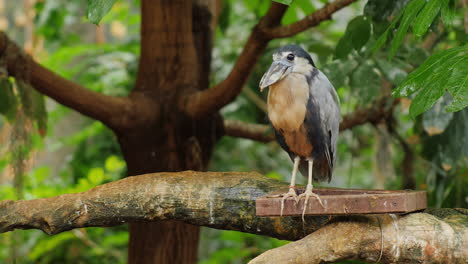 Boat-Billed-Heron-Sitting-In-The-Branches-Of-A-Tree-3