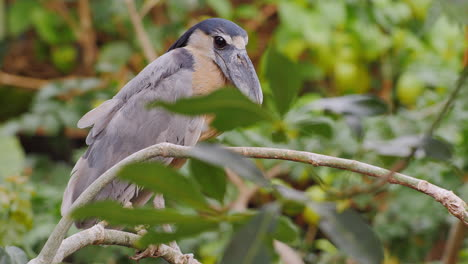 Boat-Billed-Heron-Sitting-In-The-Branches-Of-A-Tree-4