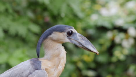 Boat-Billed-Heron-Sitting-In-The-Branches-Of-A-Tree-5