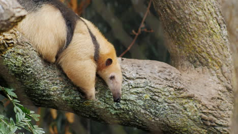 Anteater-Southern-Tamandua-Very-Funny-Crawling-On-His-Belly-On-A-Tree-Branch