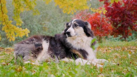 Adult-Australian-Shepherd-Lying-In-The-Yard-In-The-Fall