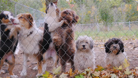 A-Lot-Of-Dogs-Behind-The-Net-Of-The-Aviary-Waiting-For-The-Owner-1