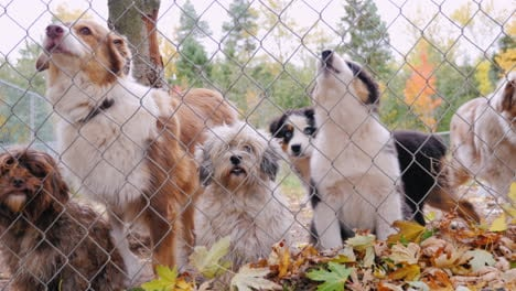 A-Lot-Of-Dogs-Behind-The-Net-Of-The-Aviary-Waiting-For-The-Owner-2