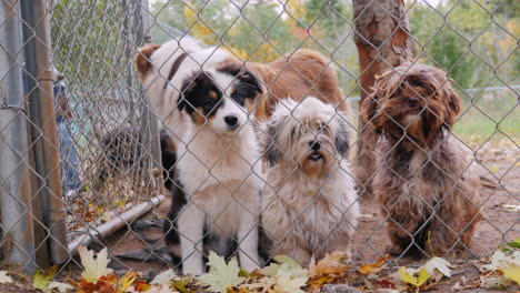 A-Lot-Of-Dogs-Behind-The-Net-Of-The-Aviary-Waiting-For-The-Owner-3