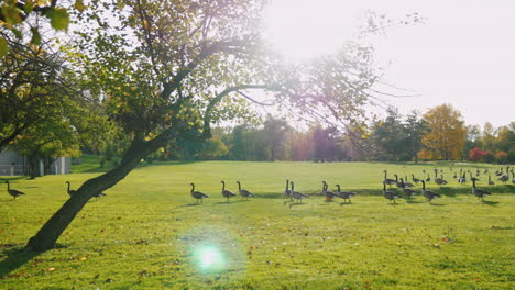 A-Flock-Of-Geese-Walk-In-A-Green-Meadow-At-Sunset-5