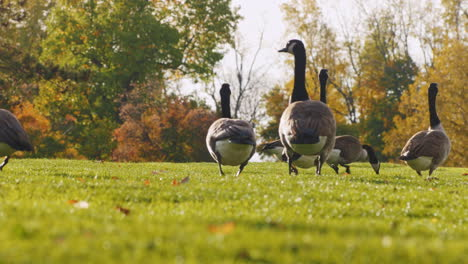 A-Flock-Of-Geese-Walk-In-A-Green-Meadow-At-Sunset-7