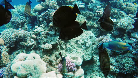 Ecosystem-Of-A-Coral-Reef-With-A-Lot-Of-Fish-Red-Sea-Anthias