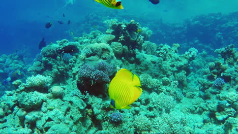 Ecosystem-Of-A-Coral-Reef-With-A-Lot-Of-Fish-Red-Sea-Anthias-1