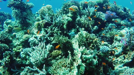 Ecosystem-Of-A-Coral-Reef-With-A-Lot-Of-Fish-Red-Sea-Anthias-2
